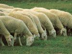 Leyenda: El ovejero